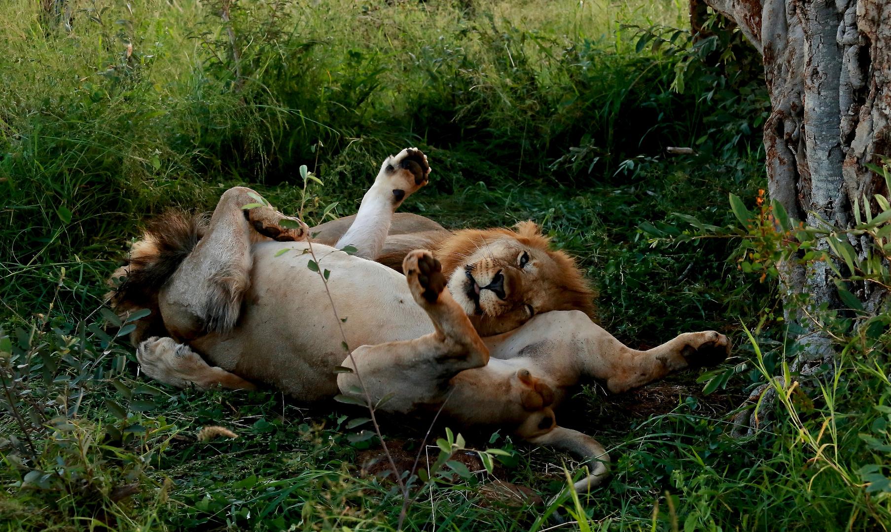 Zwei Löwenbrüder
