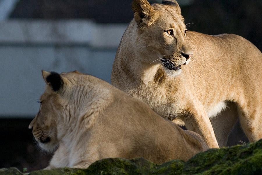 Zwei Löwinnen