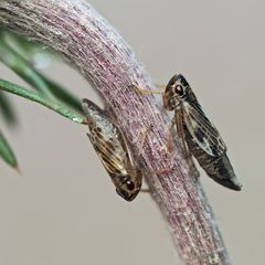 Zwei lustige Gesellen! Zwergzikaden (Evacanthus acuminatus) *