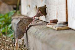 Zwei Mäuse die um ihr Leben rennen