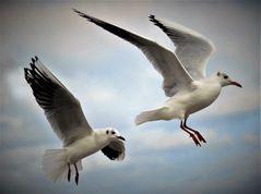 Zwei Möwen im Anflug (2)