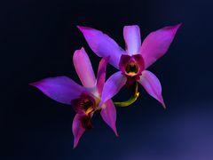 Zwei Orchideen