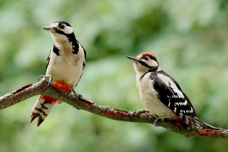 Zwei Paradiesvögel auf Beobachtung