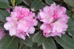 Zwei rosa Rhododendronblüten