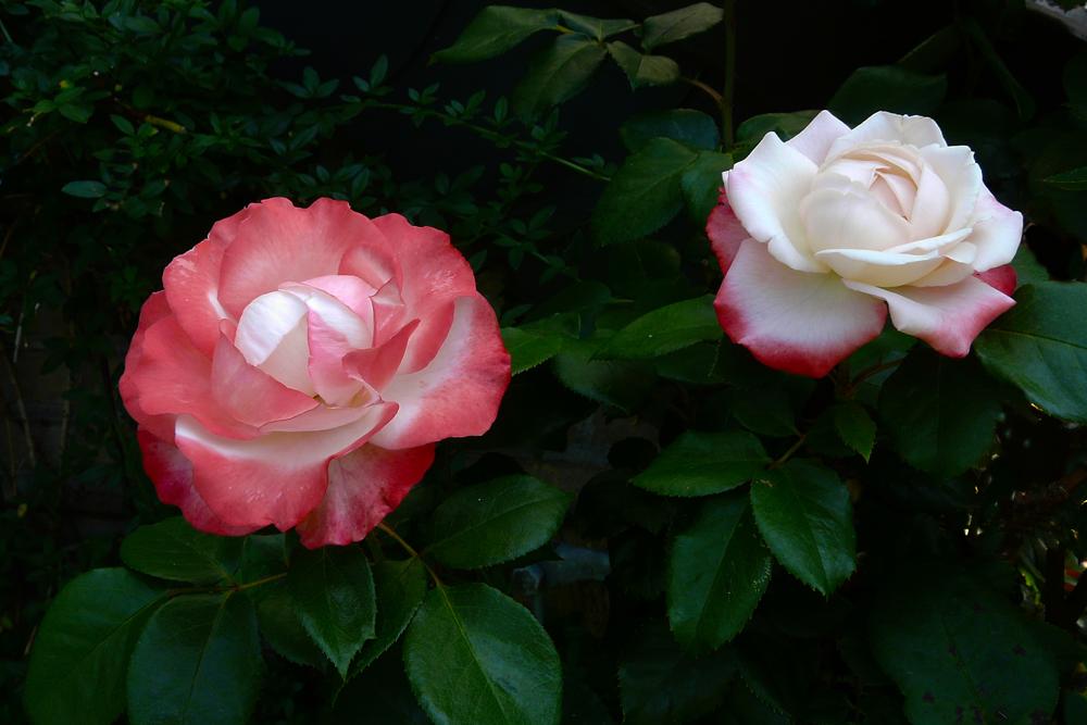zwei Rosen - ein Strauch - mein schönster Rosenstrauch