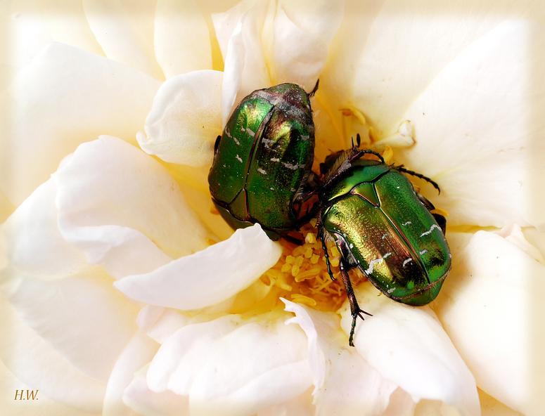 Zwei Rosenkäfer