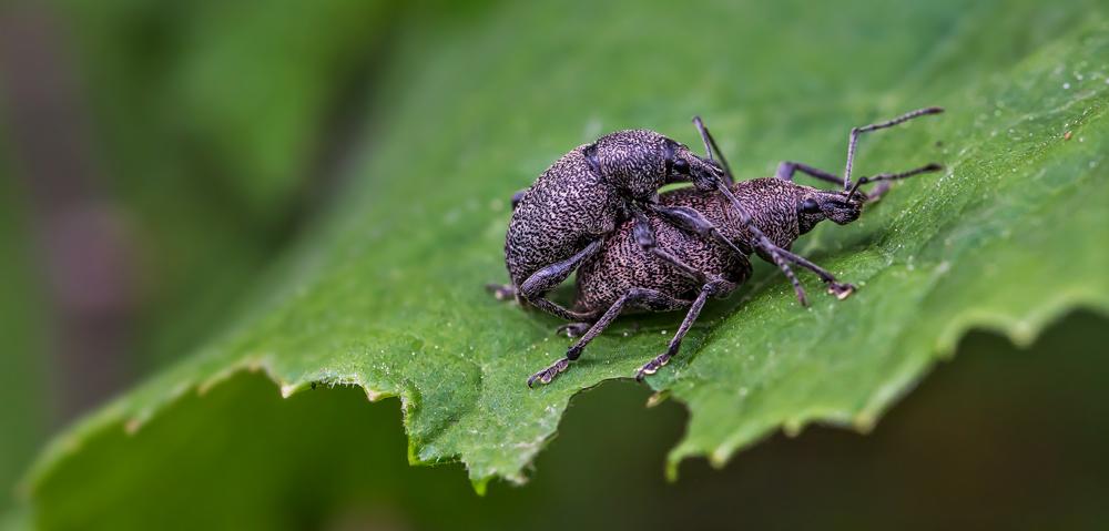 Zwei Rüsselkäfer vereint auf einem grünen Blatt!