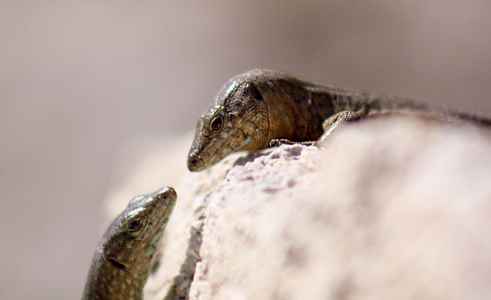 zwei Salamander kommen sich näher...
