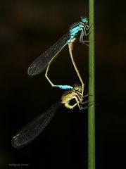 Zwei Schlanklibellen die sich mögen...........