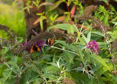 Zwei Schmetterlinge sind besser als einer