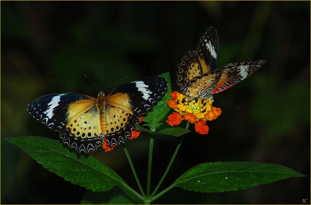 Zwei Schönheiten # Dos bellezas
