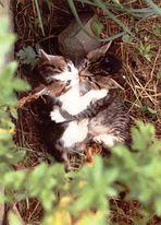 Zwei sich küssende junge verwilderte Katzen