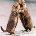 Zwei sich küssende Murmeltiere