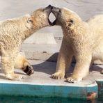 Zwei sich (nicht sehr zärtlich) küssende Eisbären