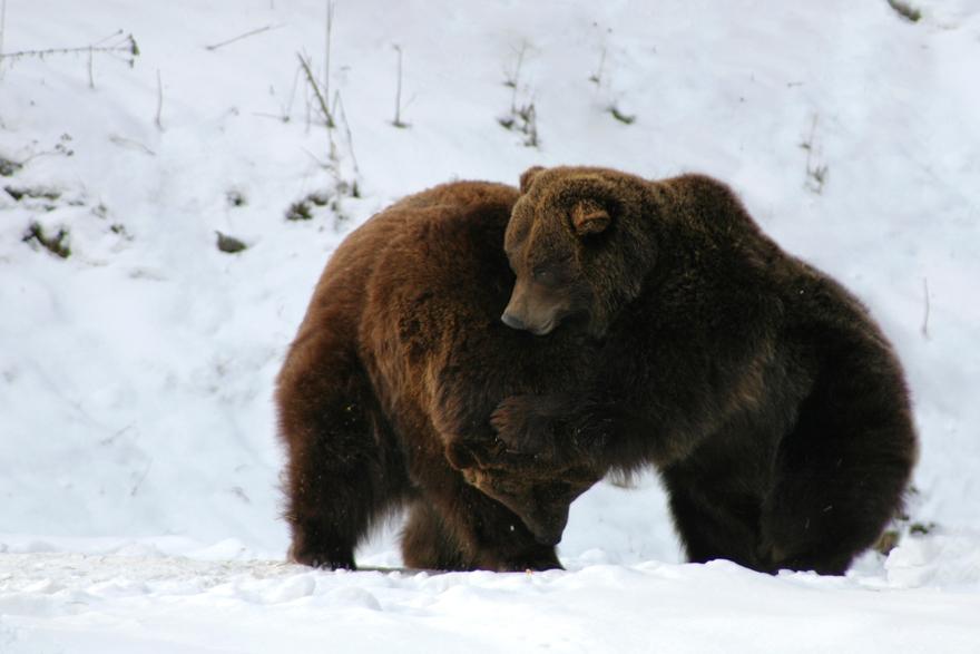 Zwei spielende Bären