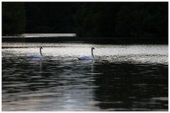 zwei Sterne mit langen Hälsen im Wasser