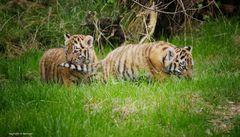 zwei Tigerbabies