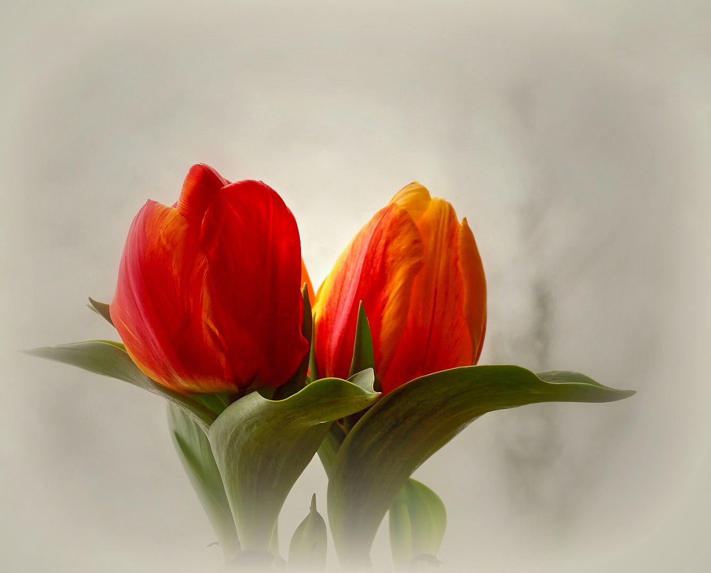 Zwei Tulpen...