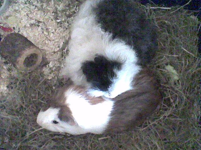 Zwei verliebte Meerschweinchenweibchen