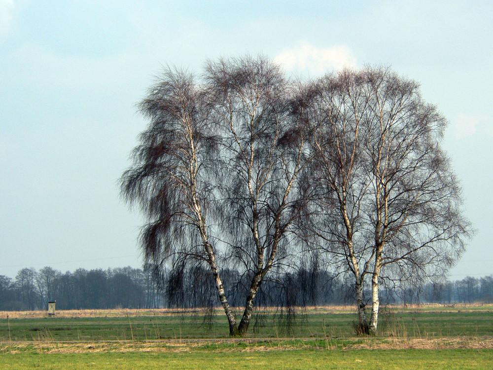 Zwei weiße Birken…….