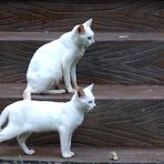 Zwei weiße Katzen in Mallorca