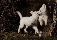 zwei weiße Schäferhundbaby´s