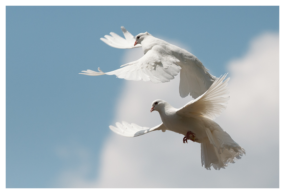 Zwei Weisse Tauben Foto Bild Hochzeit Tiere Menschen Bilder Auf
