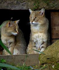Zwei Wildkatzen