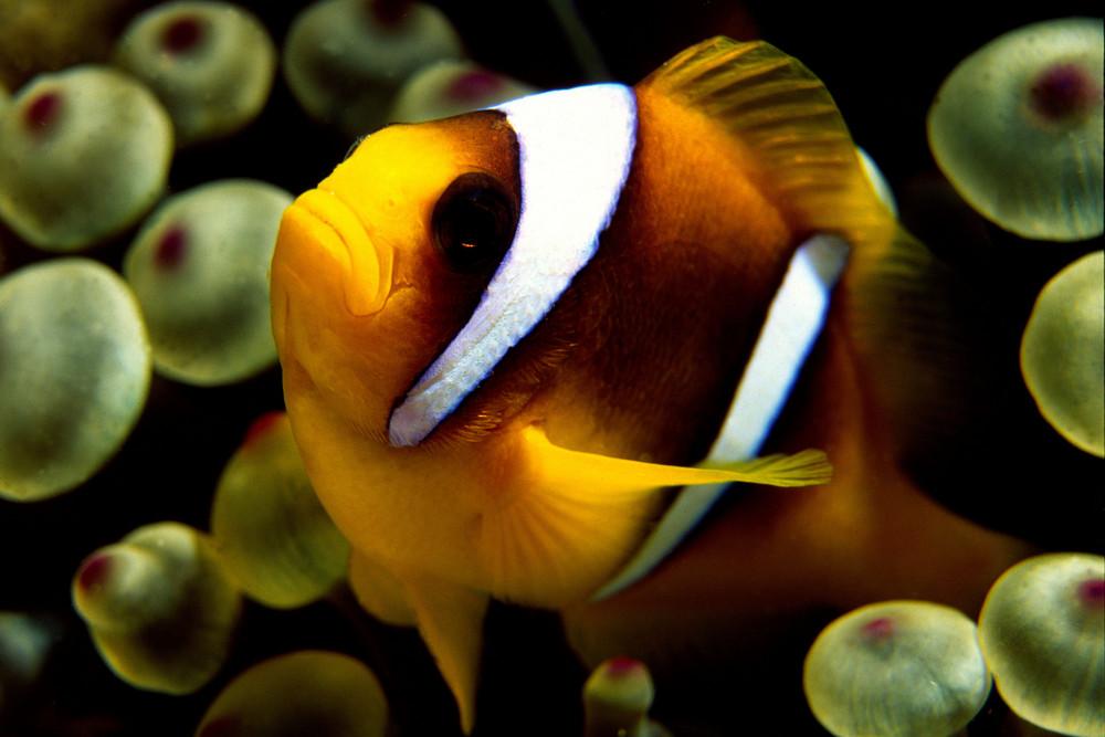 Zweibandanemonenfisch