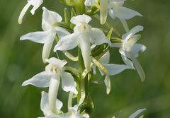 Zweiblättrige Waldhyzinthe (Platanthera bifolia)...