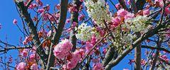 Zweifarbig an einem Baum , Japanische Blütenkirsche  ....