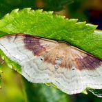 Zweifarbiger Doppellinien-Zwergspanner (Idaea degeneraria) - L'Acidalie dégénérée.