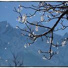 Zweig mit Schneeblüten