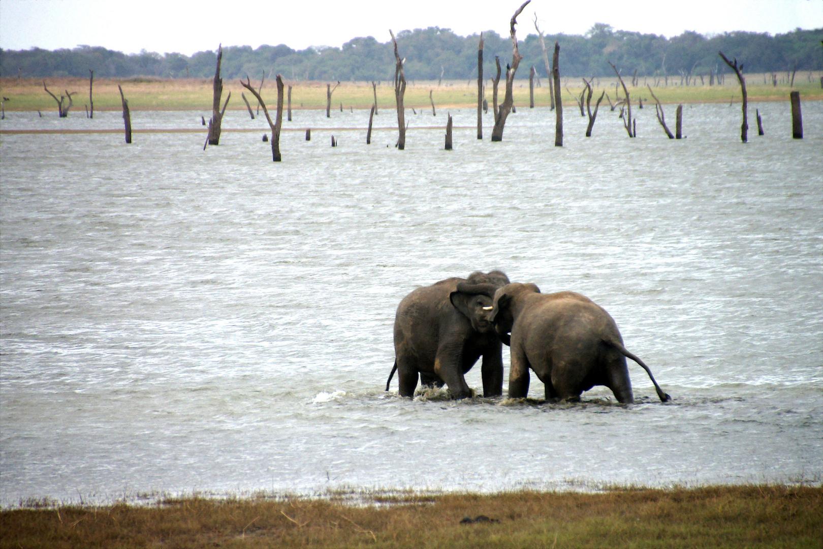 Zweikampf in Sri Lanka