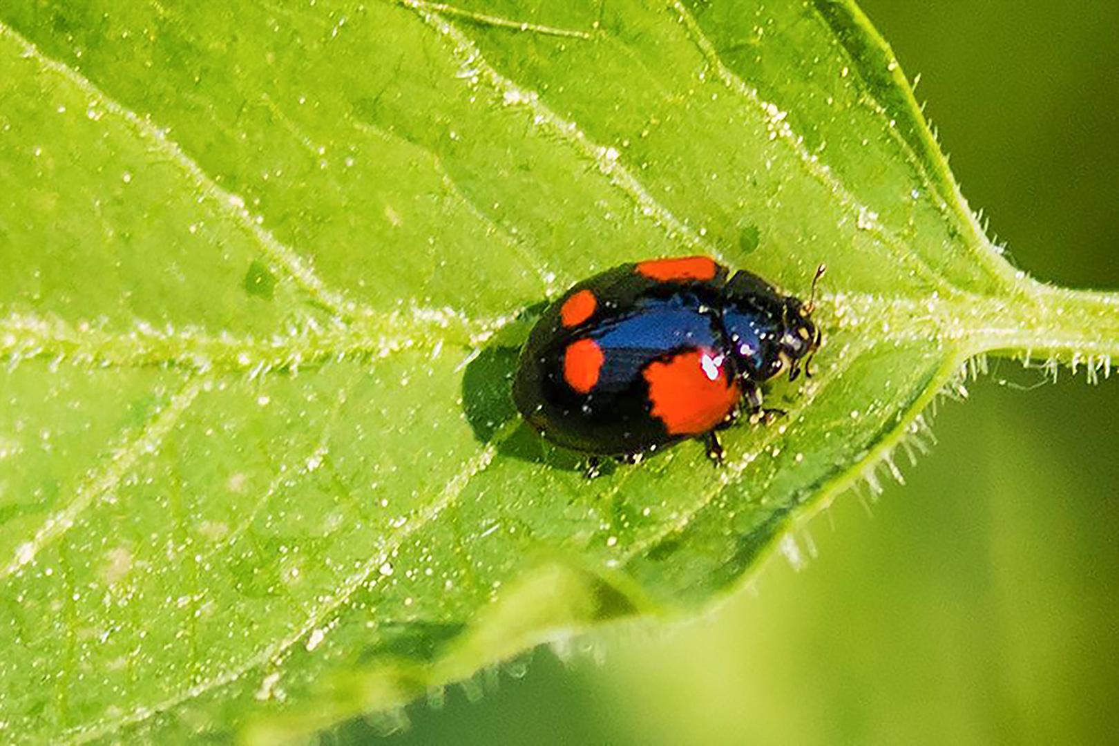 Zweipunkt-Marienkäfer (Adalia bipunctata)