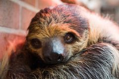 Zweizehenfaultier Zoo Dortmund
