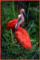 Zwerg-Flamingos