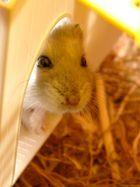Zwerg Hamster