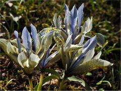 Zwerg-Iris zum Mittwoch