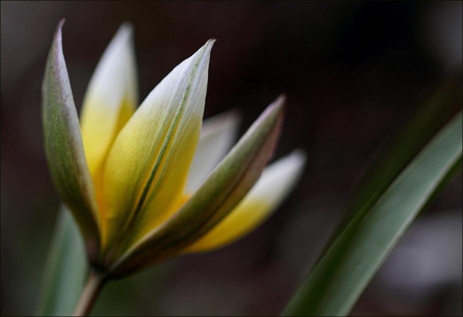 Zwerg-Stern-Tulpe