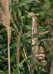Zwergdommel (Ixobrychus minutus) Wildlife ...