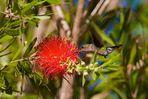 Zwergelfe * Vervain Hummingbird (Mellisuga minima)