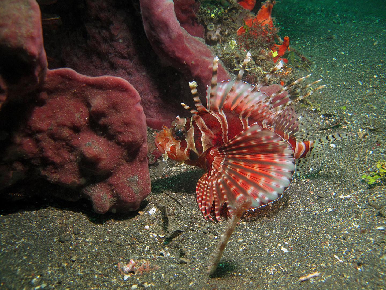 Zwergfeuerfisch