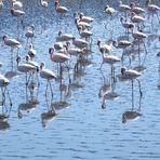 Zwergflamingos spiegeln sich in der Walvisbay / Namibia