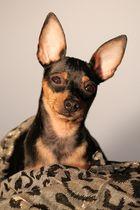 Zwergpinscher Spunky posiert für die Cam ;)