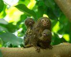 Zwergseidenäffchen mit Jungtieren vom 05.08.2015 im Zoo Krefeld