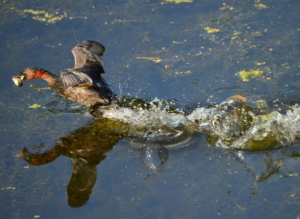 Zwergtaucher Flug mit Fisch