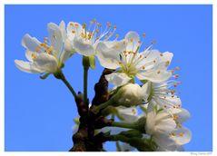 Zwetschenblüten