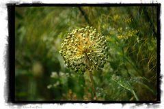 Zwiebelblüte (verwelkt)