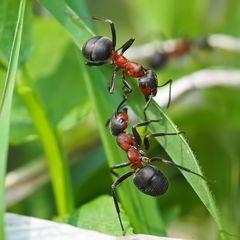 Zwiegespräch bei den Roten Waldameisen (Formica rufa)